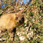 Hyrax