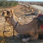Camel trekking